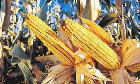 FOODS_GMO-CORN