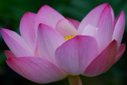 FLOWERS_PURPLE._LOTUS