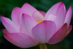 FLOWERS_PURPLE._LOTUS